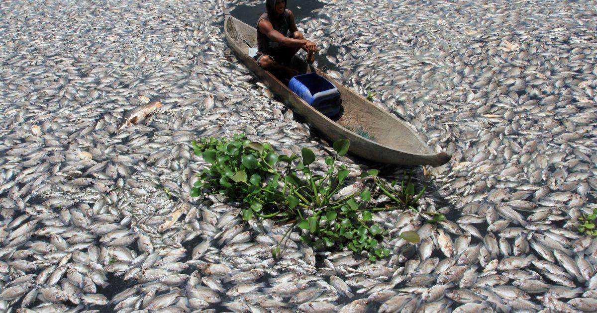 Людина пливе дерев'яним човном через мертву рибу на озері Манін'яу у Західній Суматрі, Індонезія. Тисячі риб померли через нестачу кисню, викликаною раптовою зміною стану води. @ Reuters