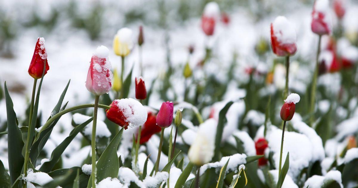 тюльпаны зимой картинки всех трудностей паломничестве