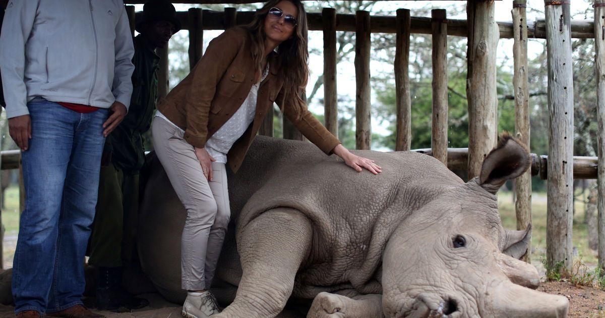 Британська актриса і модель Елізабет Джейн Херлі погладжує північного білого носорога, яких у світі залишилося лише три види, напередодні саміту лідерів африканських країн по боротьбі з браконьєрством слонів і носорогів у Кенії. @ Reuters