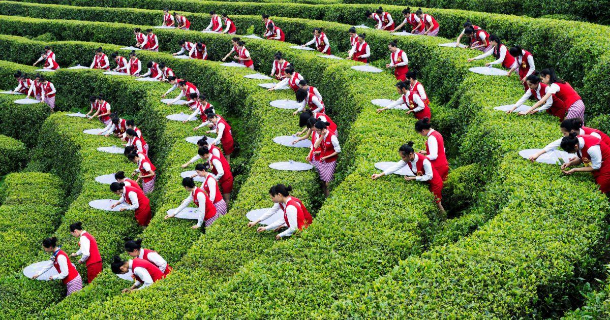 Студенти збирають чайне листя під час заходу по сприянню розвитку місцевого еко-туризму на плантації в Чунціні, Китай. @ Reuters