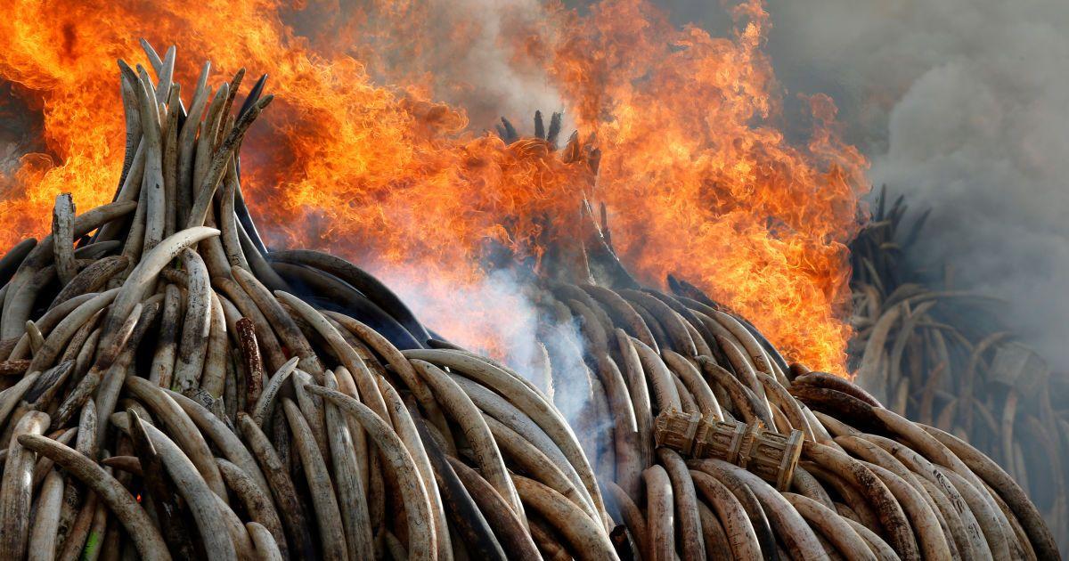 Вогонь спалює частину з приблизно 105 тонн слонової кістки і тонни рогів носорога, конфіскованого у контрабандистів і браконьєрів в Національному парку Найробі, Кенія. @ Reuters