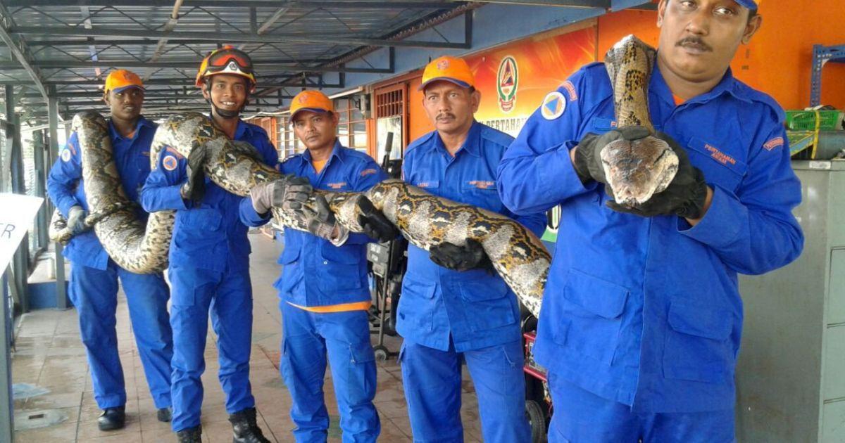 Малайзійський пітон має довжину 7,5 метрів і важить близько 250 кг. @ Reuters