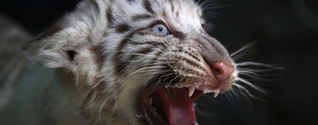 Уперше за сто років у світі збільшилася кількість диких тигрів. Інфографіка