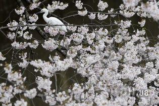 Япония отмечает ханами: служащие бросают работу и идут любоваться чудными вишнями