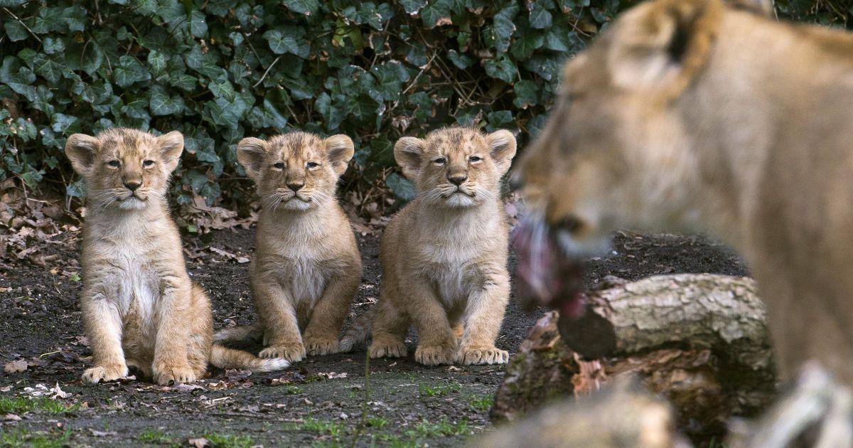Три азіатські левеня, які народилися 25 січня 2016 року, стоять поруч з їх матір'ю Лореною під час представлення публіці у зоопарку в місті Мехелен, Бельгія. @ Reuters