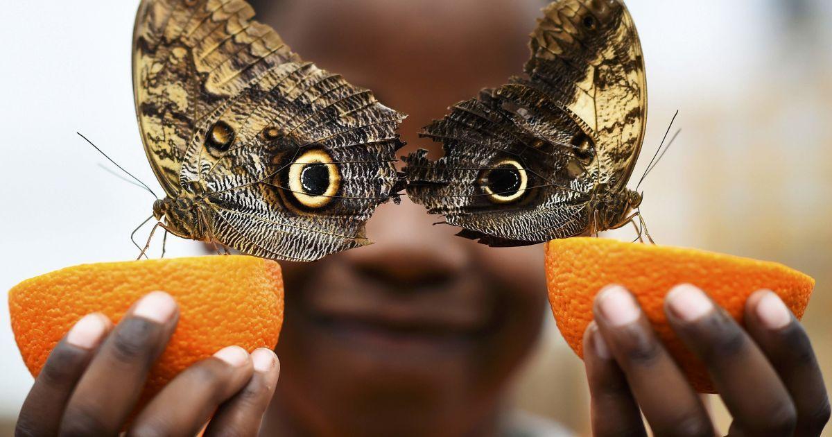 """5-річний хлопчик позує для фото з метеликами """"Сова"""" під час виставки """"Сенсаційні метелики"""" у Музеї природної історії в Лондоні. @ Reuters"""
