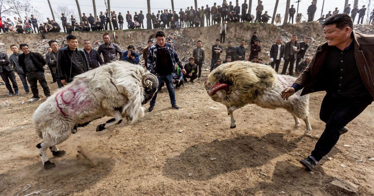 Традиційний баранячий бій під час фестивалю Темпл в провінції Хенань, Китай. @ Reuters