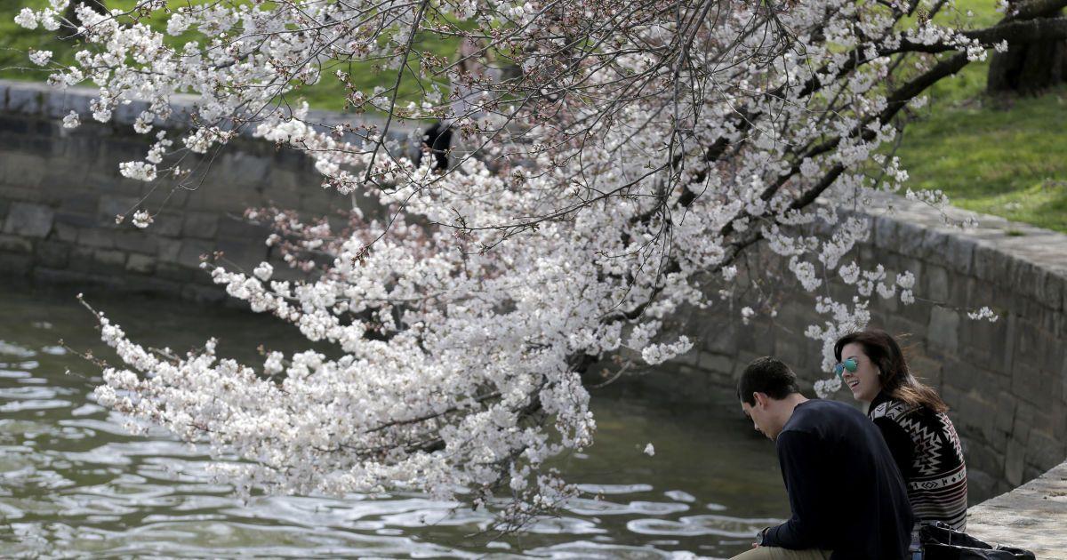 Пара сидить під квітучими вишнями у Вашингтоні. @ Reuters