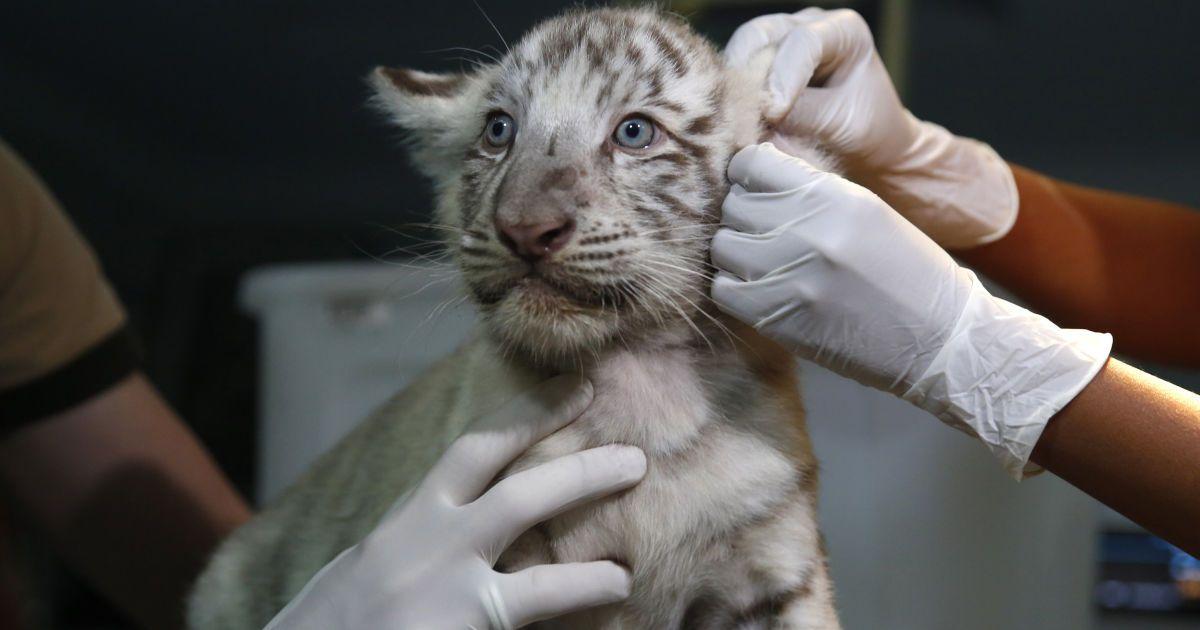 Ветеринари перевіряють білого бенгальського тигра, який народився в приватному зоопарку Уачипа в Лімі, Перу. @ Reuters