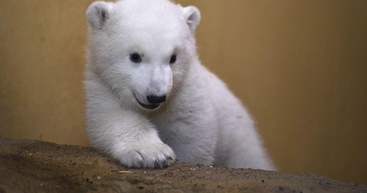 Зважений і пухнастий: у Німеччині вперше вдалося наблизитися до новонародженого полярного ведмежати