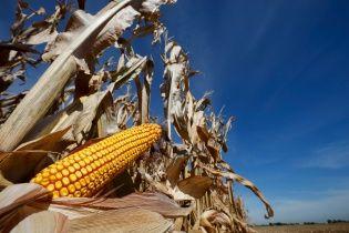 Китайський ринок наповнюється українською кукурудзою, яка вже витісняє американську