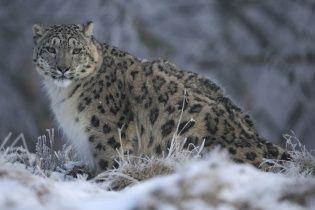 Красивый котик: Reuters показал фото снежного барса в шотландском лесу
