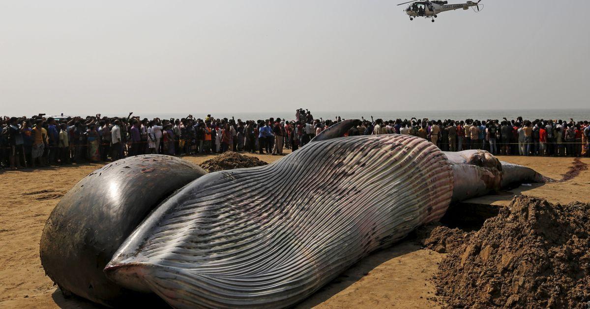 Вертоліт берегової охорони пролітає над трупом мертвого кита на пляжі уздовж Аравійського моря в Мумбаї, Індія. @ Reuters