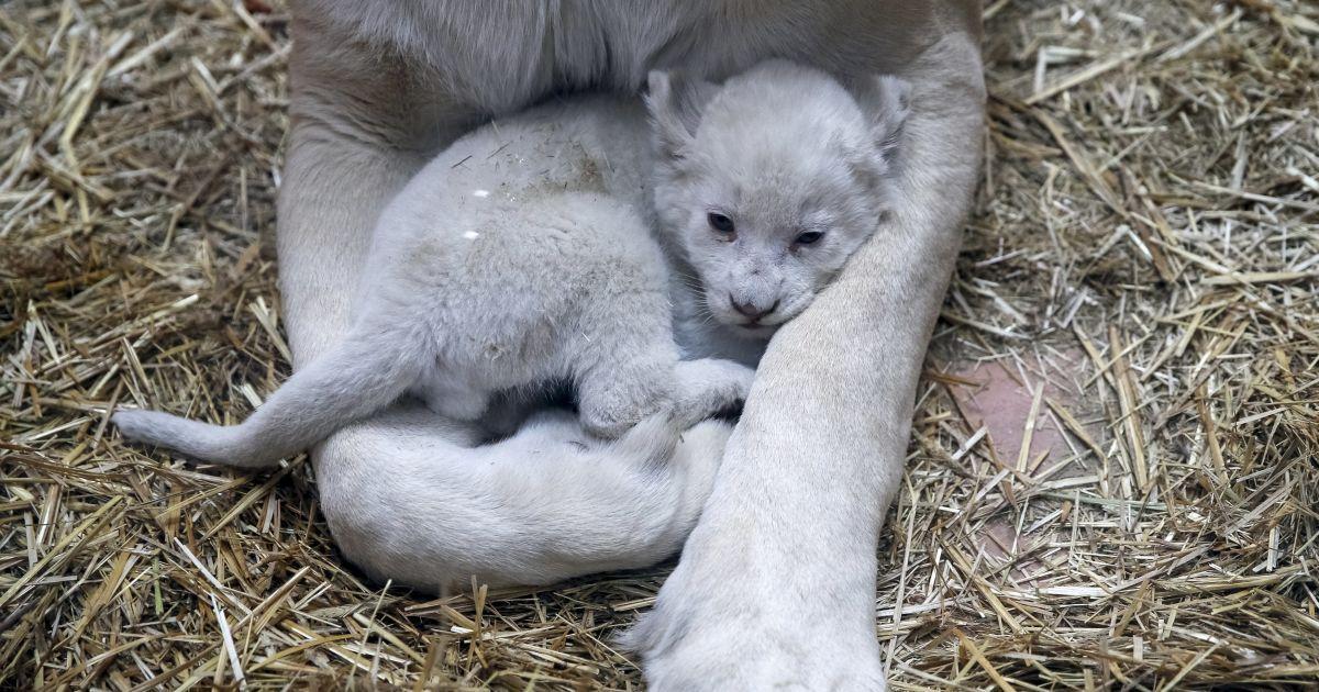 """Біла левиця та одне з трьох її новонароджених дитинчат у приватному зоопарку """"12 місяців"""" у Демидові на Київщині. @ Reuters"""