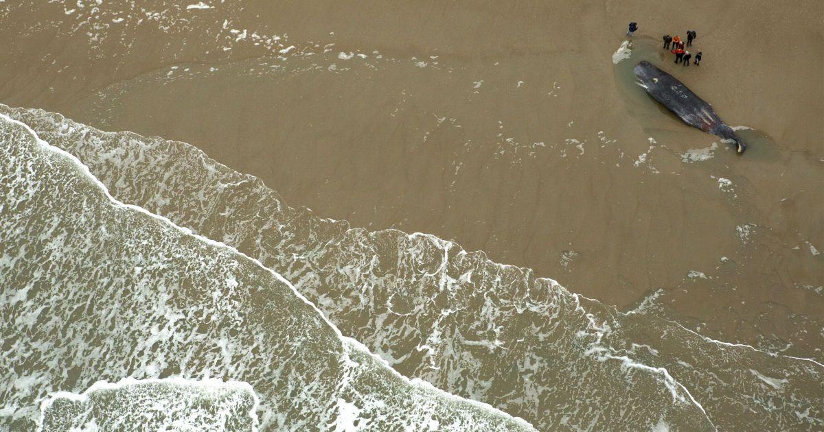 Мертвий кашалот лежить на пляжі на острові Тексель, Нідерланди. 13 січня на берег викинулися і померли п`ять кашалотів. @ Reuters