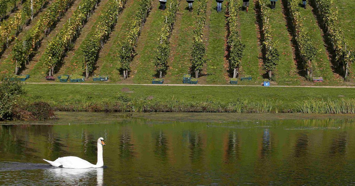 Лебедь плавает на озере в то время, как волонтеры носят ящики винограда во время ежегодного сбора урожая в историческом винограднике 18-го века в городе Кобэм, Великобритания. @ Reuters