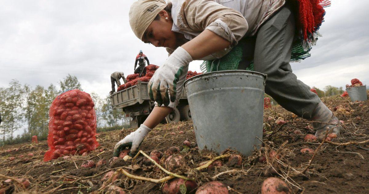 Работники-мигранты из Узбекистана собирают картошку на поле в селе Березовка недалеко от сибирского города Красноярск в России @ Reuters