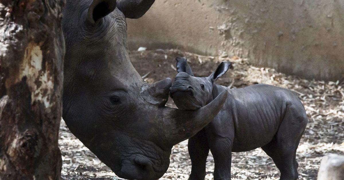"""Новорожденный носорог стоит рядом с его 6-летней матерью в зоопарке близ Тель-Авива. 24 августа в израильском зоопарке """"Сафари"""" самка носорога родила детеныша, тоже самку. Новорожденный чувствует себя хорошо. Носорогов привезли в Израиль из Африки, где они находились под угрозой вымирания. @ Reuters"""