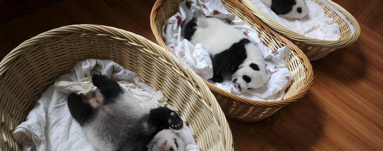 В Китаї вперше до публіки вийшли одразу 36 маленьких панденят