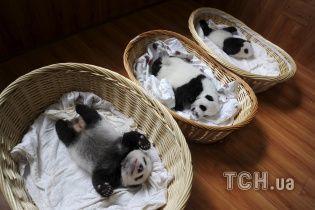 В Китае впервые к публике вышли сразу 36 маленьких пандочек