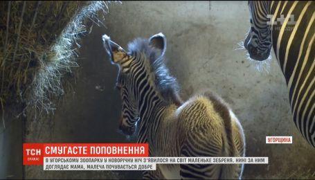В угорському зоопарку у новорічну ніч з'явилося на світ маленьке пустельне зебреня