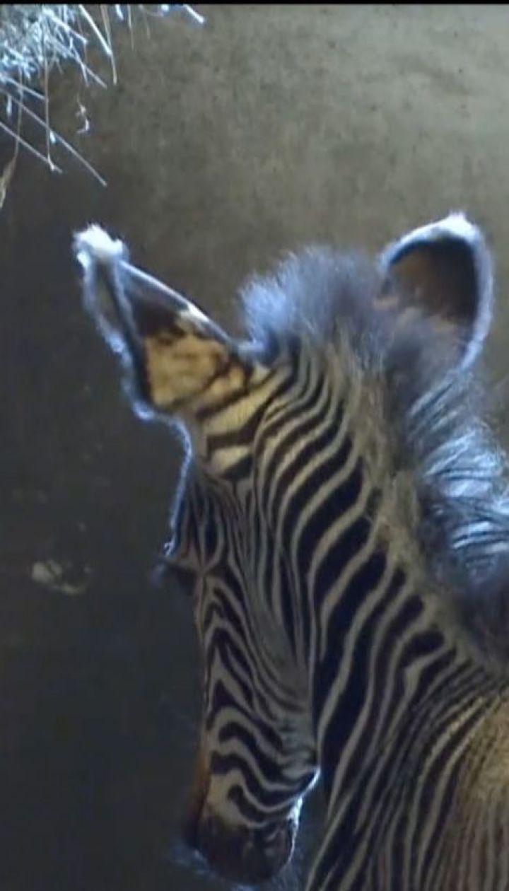 В венгерском зоопарке в новогоднюю ночь появился на свет маленькая пустынная зебра