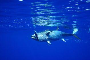 Японец заплатил на аукционе рекордные 3,1 миллиона долларов за тушу тунца