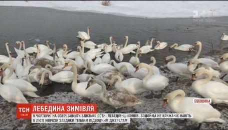 На Буковине десятки лебедей-шипунов зимуют на водоеме, который не замерзает