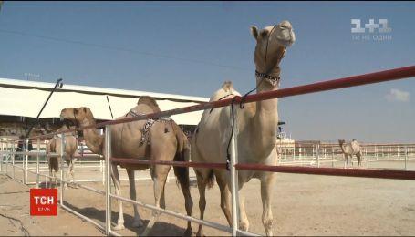 Конкурс краси для верблюдів відбувся в ОАЕ