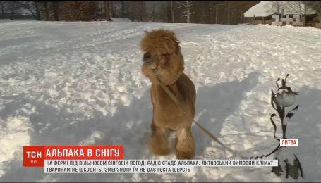 Стадо альпак радуется снежной погоде на ферме под Вильнюсом