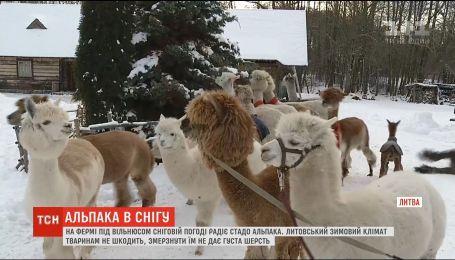 Альпаки у снігу: на фермі під Вільнюсом зимують тридцять екзотичних тварин