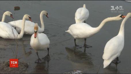 На Буковину слетелись зимовать сотни лебедей-шипунов