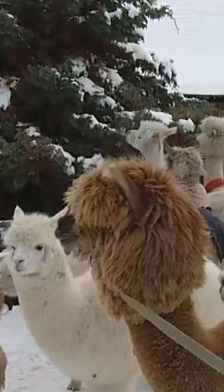 Альпаки в снегу: на ферме под Вильнюсом зимуют тридцать экзотических животных