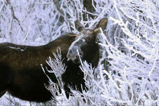 Неожиданный гость. На Аляске в больницу пришел лось и полакомился растениями