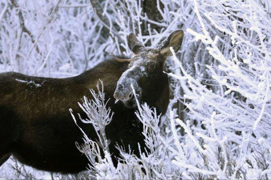 Несподіваний гість. На Алясці до лікарні завітав лось і поласував рослинами