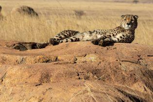 """В Южной Африке туристы застали гепардов за """"сексом втроем"""" – видео удивило даже специалистов"""