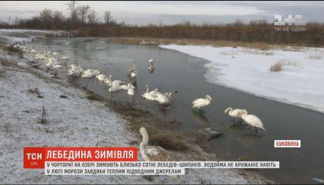 На Буковине десятки лебедей-шипунов зимуют на водоеме, которая не замерзает