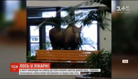 У США до холу лікарні зайшов дикий лось