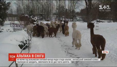 Екзотичні альпаки на фермі під Вільнюсом зраділи снігу