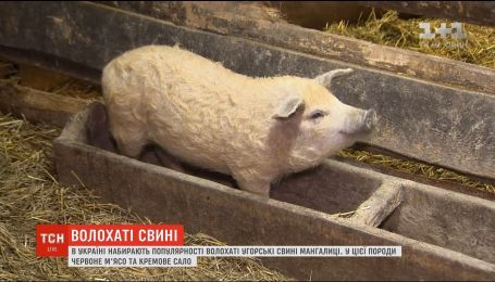 Волосатые свиньи: в Украине приобретают популярность венгерские мангалицы
