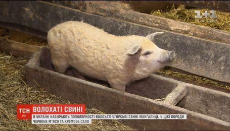 Волохаті свині: в Україні набувають популярності угорські мангалиці