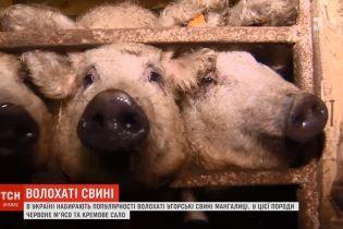 """В Україні виникла мода на розведення волохатих """"бараноподібних"""" свиней"""