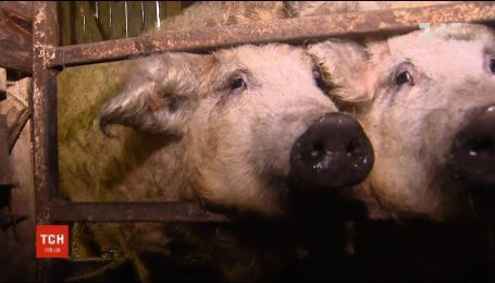 В Украине приобретают популярность венгерские свиньи мангалицы
