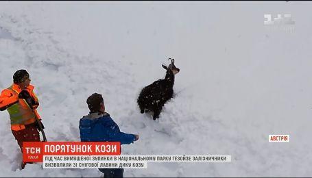 Железнодорожники спасли дикую козу из снежной лавины в Австрии
