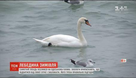 Одинокая зимовка: на одном из одесских пляжей поселился лебедь