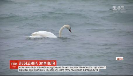 Отбился и заблудился: на одесском пляже зимует одинокий лебедь