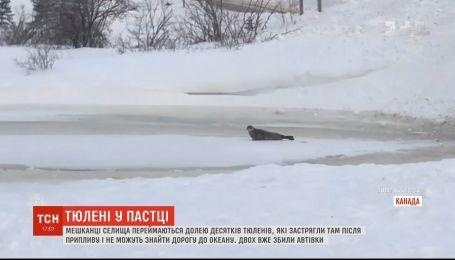 У Канаді мешканці одного із селищ переймаються долею тюленів, які застрягли після припливу