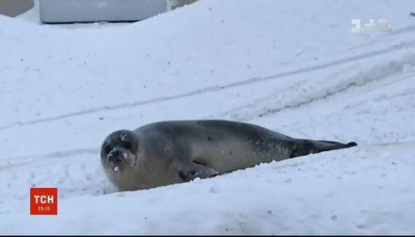 Тюлени вызвали хаос в городке в Канаде