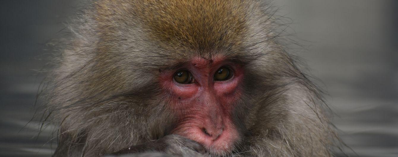 Гуляють по дротах: в Японії мавпи влаштували незвичайну забаву