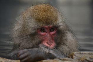 Гуляють по проводам: в Японии обезьяны устроили необычную забаву